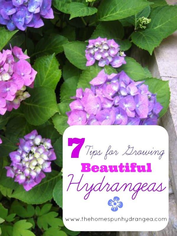 marvelous how to grow hydrangea Part - 3: marvelous how to grow hydrangea images