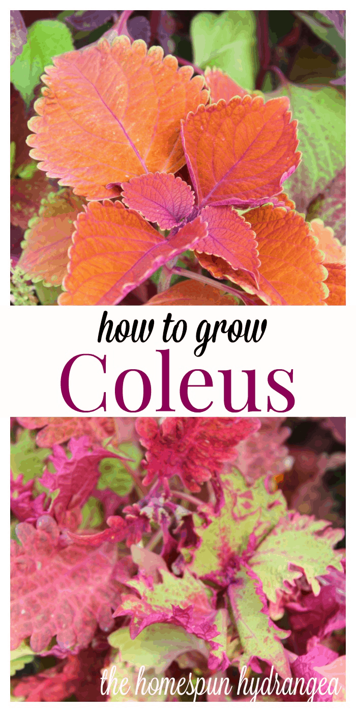 7 Tips On How To Grow Coleus In Your Garden