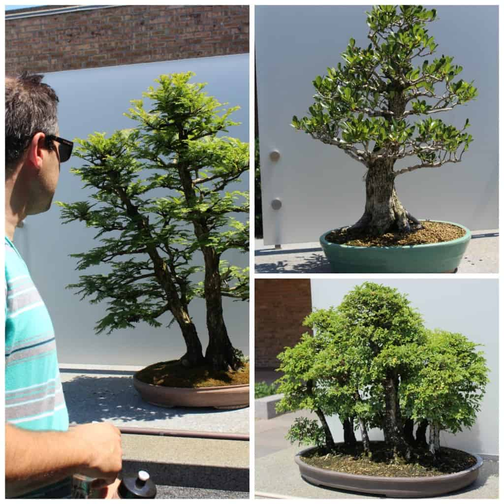 Bonsai Tree Chicago Image Home Garden And Rtecx