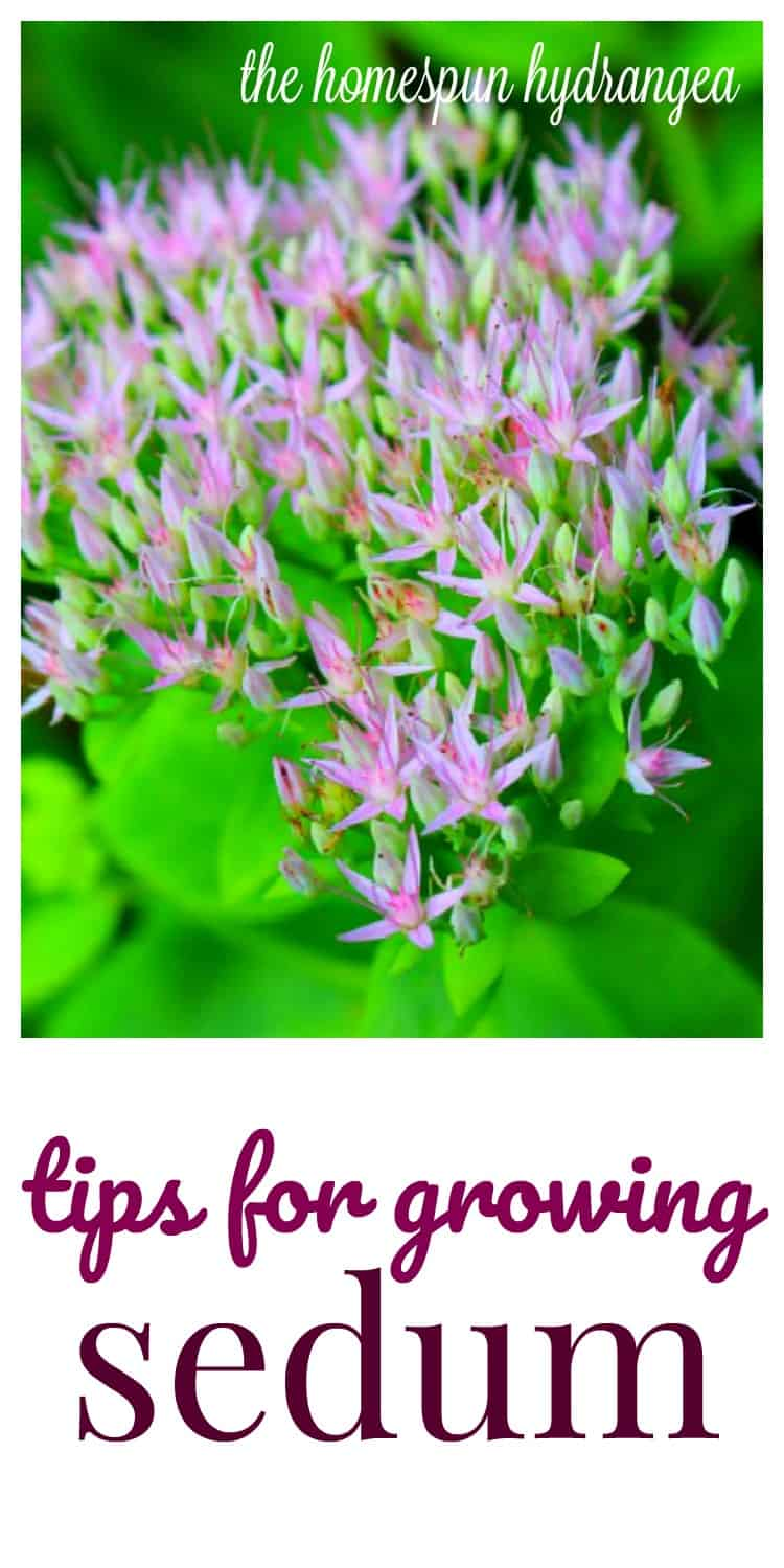 How To Grow Sedum A Fall Perennial Flower The Homespun Hydrangea