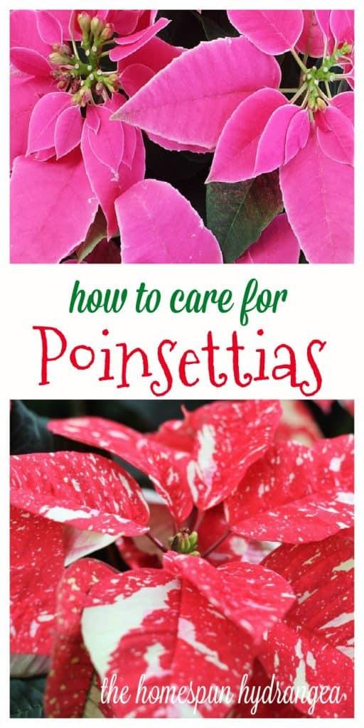 How To Grow Poinsettias