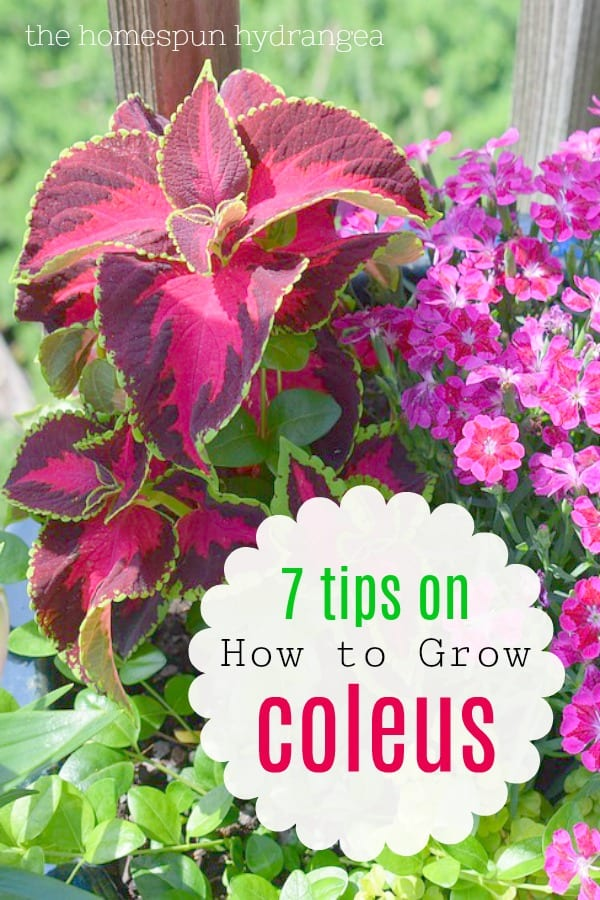 How To Grow Coleus In Your Garden And Yard