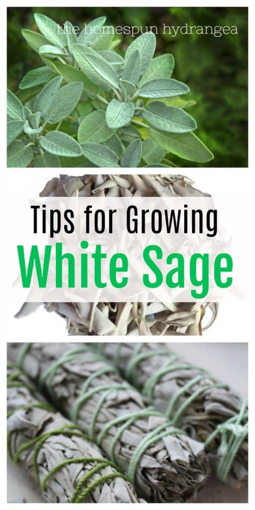 Tips on How to Grow White Sage In Your Garden - The Homespun Hydrangea