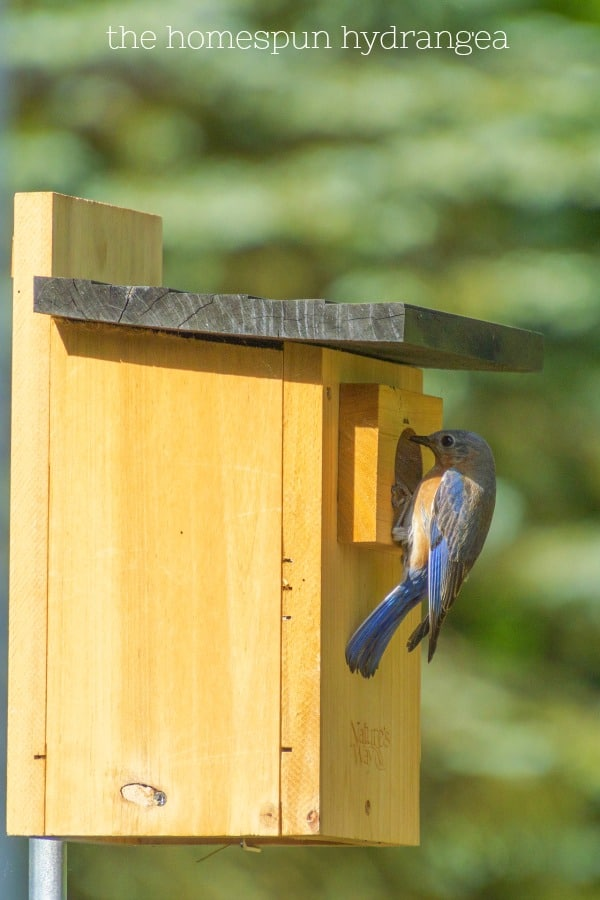Ways to Attract Bluebirds to Your Yard and Garden